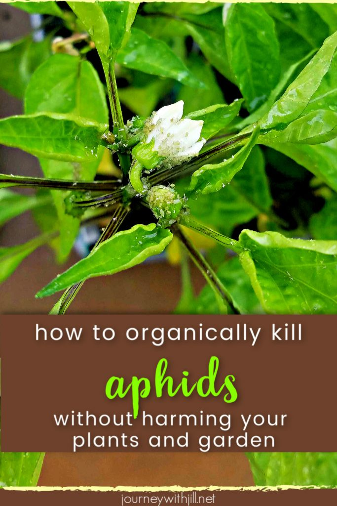 how to organically kill aphids without harming your garden